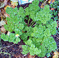120px-Parsley_Curled