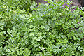 120px-Parsley_bush